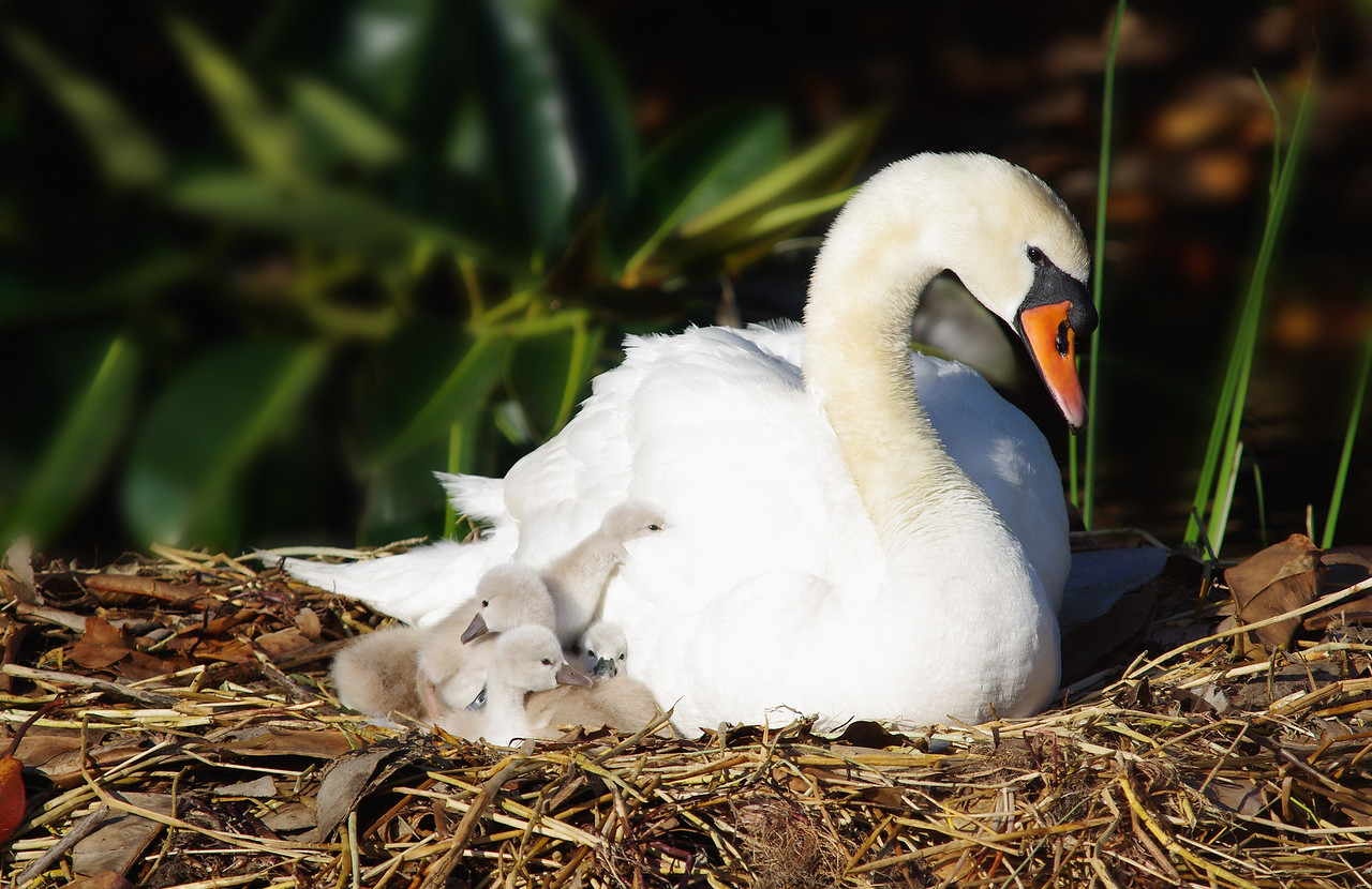 Mute Swan family Viera, FL