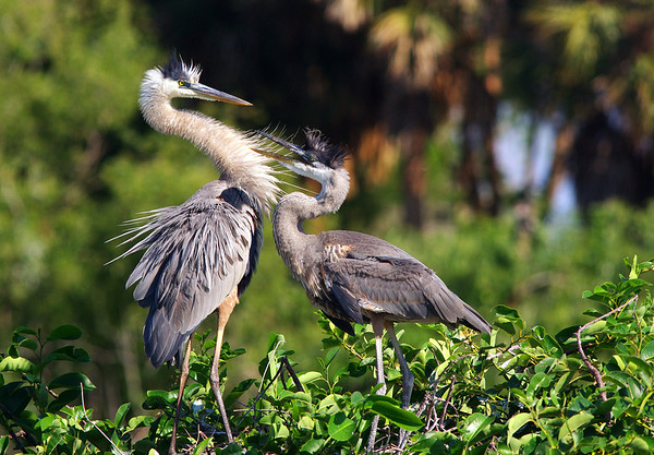 Great Blue Herons Wakodahatchee Wetlands Deerfield Beach, FL