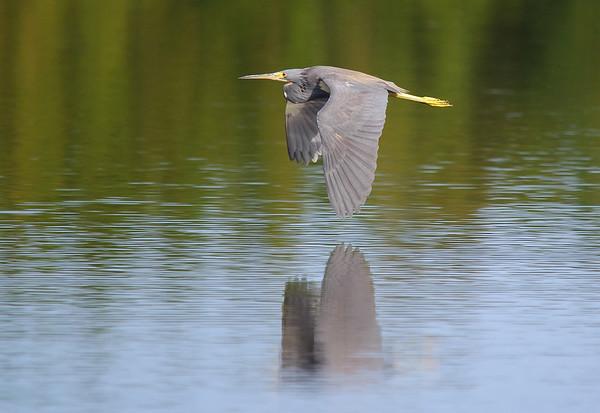 Tri-colored Heron Eco Pond, Everglades National Park