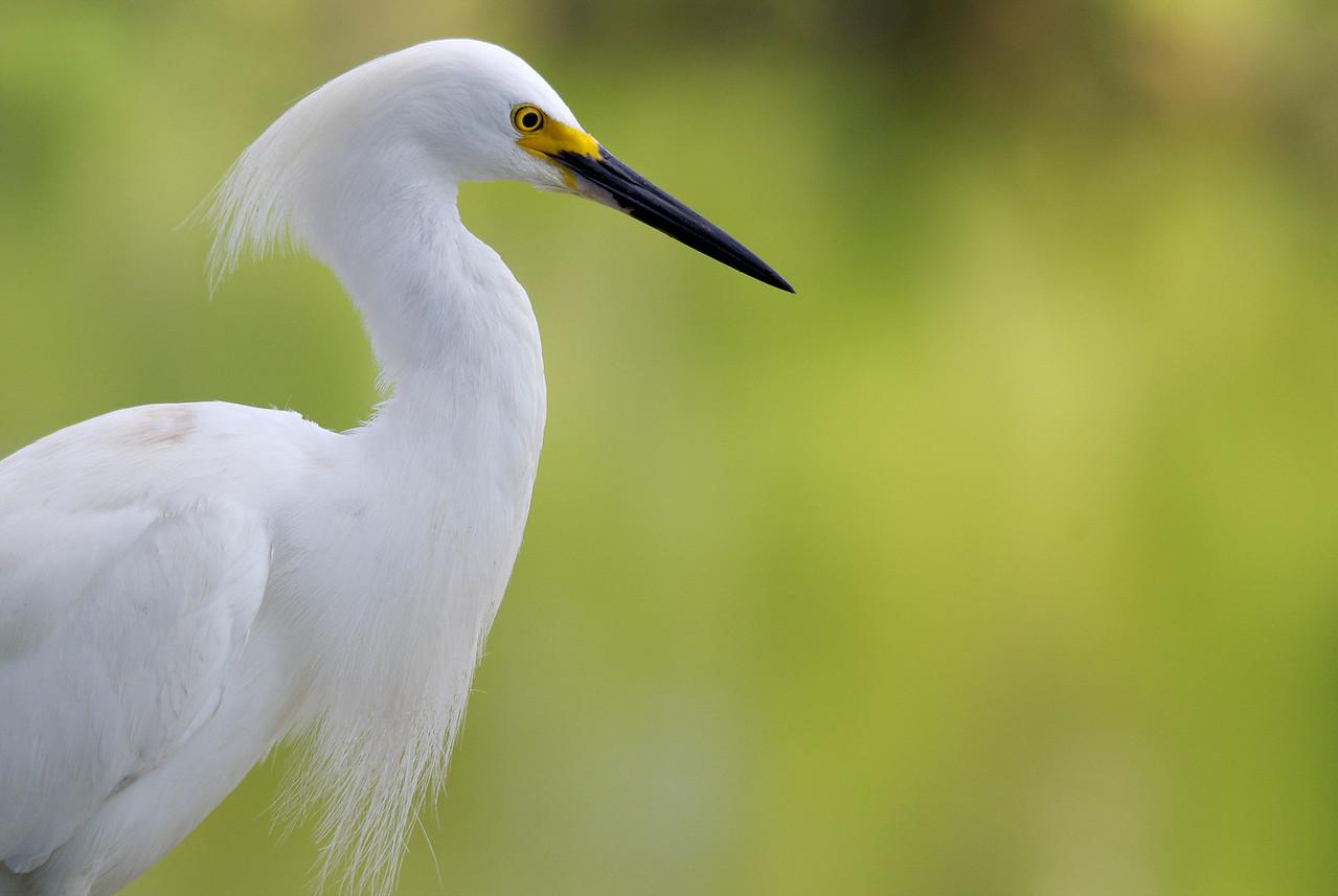 Snowy Egret Gatorland, Orlando Florida