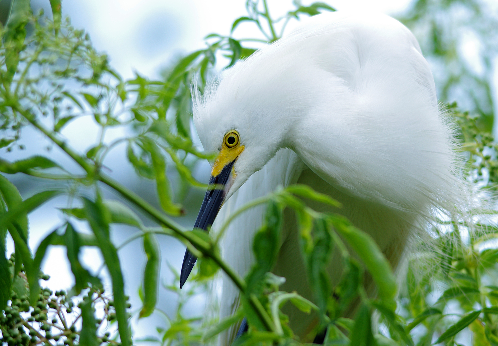 Snowy Egret Gatorland Orlando, FL
