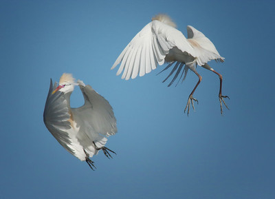 attack of the egrets.