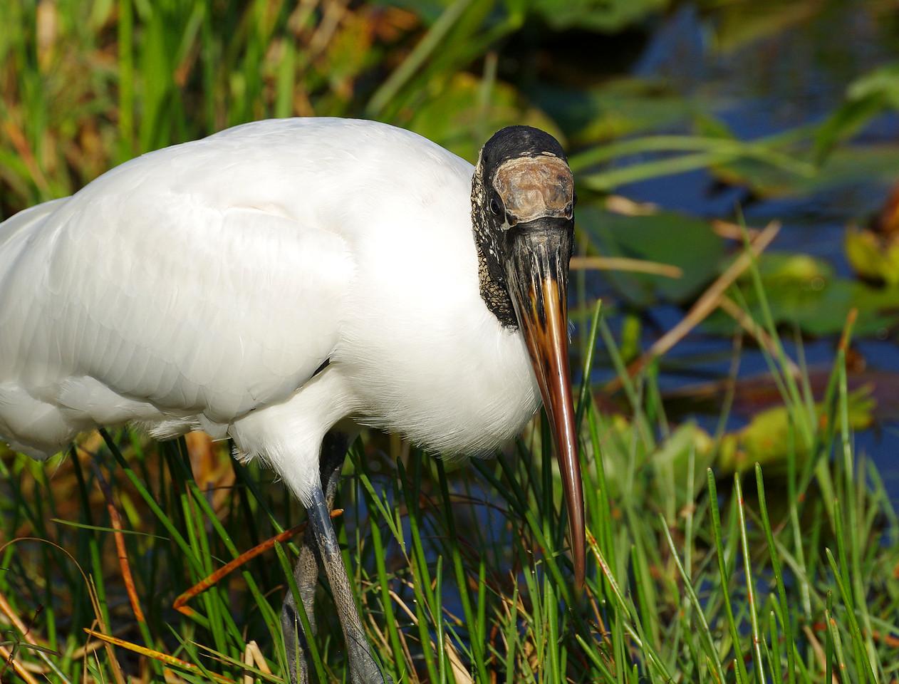Wood Stork Anhinga Trail Everglades National Park