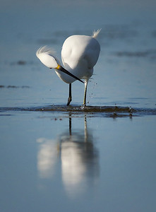 snowy egret fishing Tigertail Beach Marco Island, FL