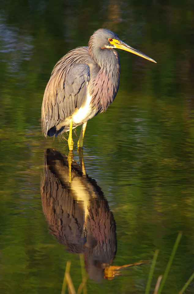 Tri-Colored Heron in late afternoon light Anhinga Trail Everglades National Park
