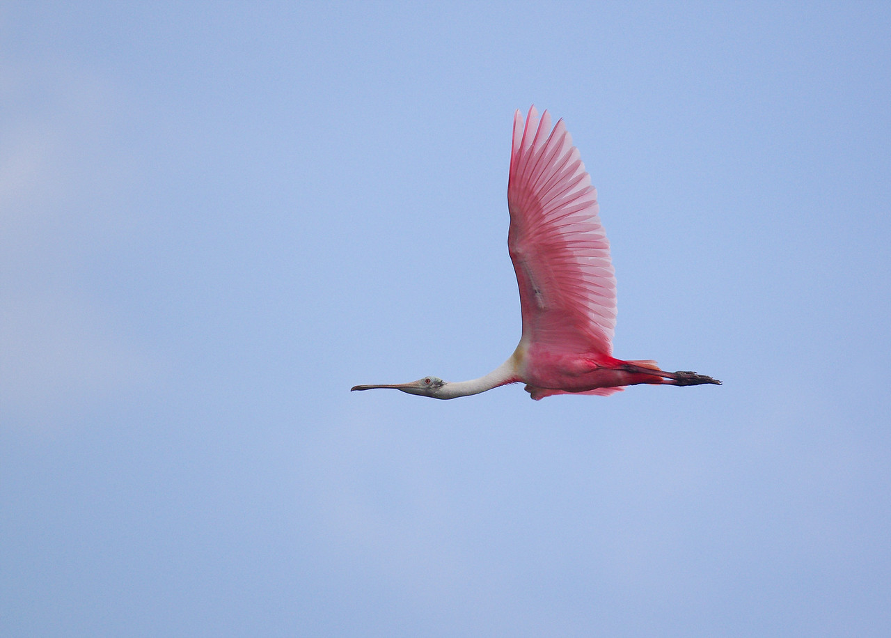 Roseatte Spoonbill Eco Pond, Everglades National Park