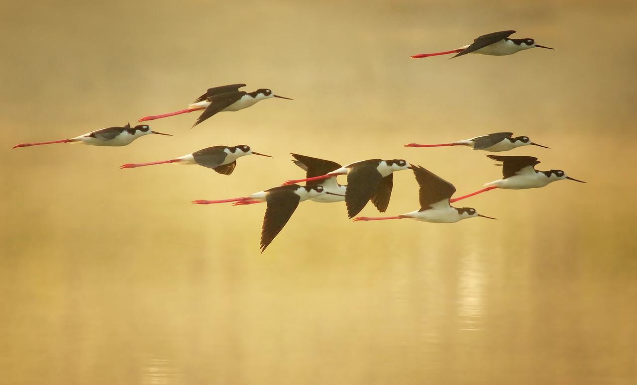 early morning flight - black-necked stilts Everglades National Park