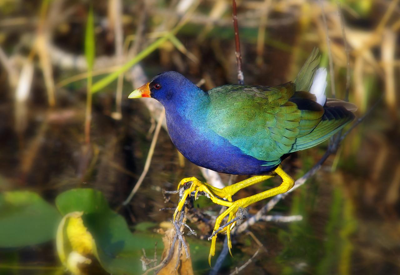Purple Gallinule Everglades National Park