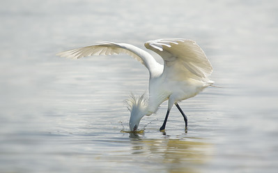 Egrets, Herons, Stilts, Spoonbills and other wading birds