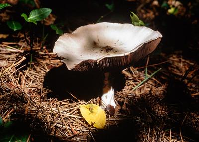 mushroom-ec1-31-t3556