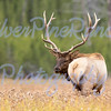 """Elk Beauty"""