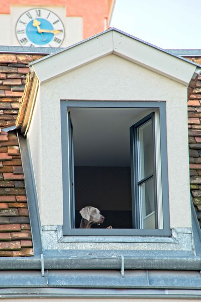 A weimaraner surveys the scene in the small Vienna suburb of Kahlenberdorf.<br /> Photo © Carl Clark