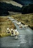 Sheep have the right of way on a rural road on the Isle of Skye, Scotland. <br /> Photo © Carl Clark