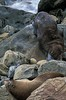 Break time for Antarctic fur seals on a rocky shoreline in Otago on the south island of New Zealand. <br /> Photo © Carl Clark