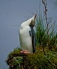A yellow eyed penguin mugs for the camera on Otago peninsula, South Island, New Zealand. <br /> Photo © Carl Clark