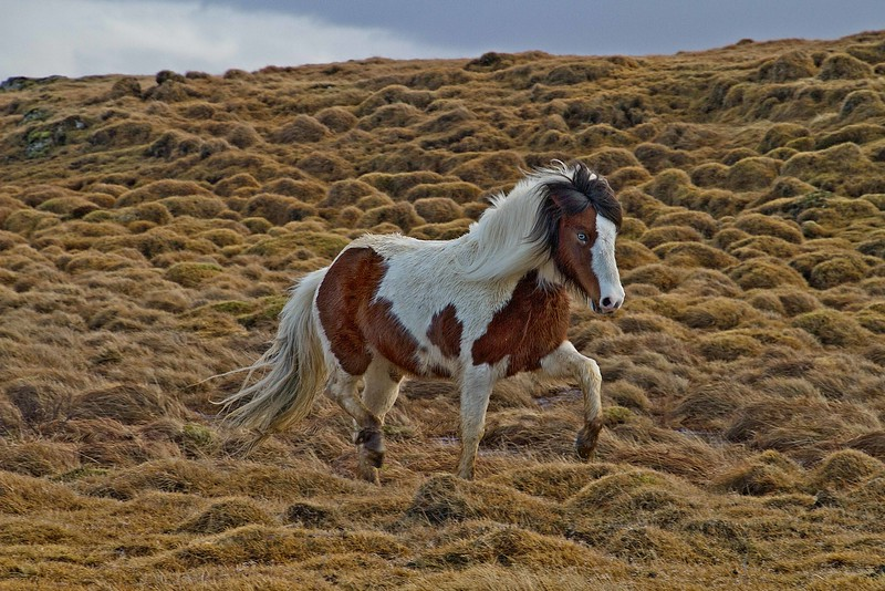 A fine Icelandic pony struts through the grass.<br /> Photo © Carl Clark