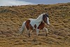 A fine Icelandic pony struts through the grass.<br /> Photo © Carl Clark