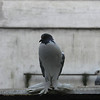 Fluffy-footed pigeon