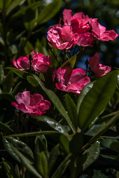 Rhody blooming roses