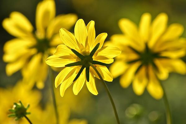 Spring wildflowers- Torrey Pines State Reverse, San Diego, CA