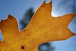 Fall foliage on Sunset Trail near Mount Laguna, CA