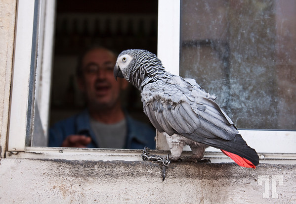 Parrot in the window