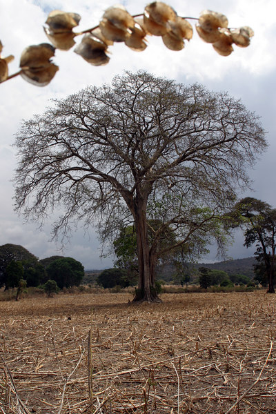 Tree framed by Pok Pok Fruit South of Langono, Ethiopia