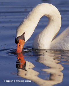 MUTE SWAN REFLECTED, ENGLAND