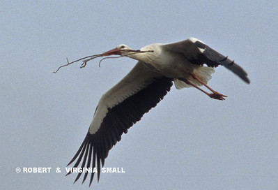 WHITE STORK IN FLIGHT WITH NESTING MATERIAL - PORTUGAL