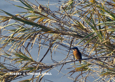 EUROPEAN KINGFISHER IN REED GRASSES, FRANCE