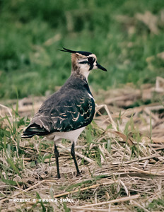 ONE OF A MILLION (MAYBE!) NORTHERN LAPWINGS THAT WE SAW FORAGING IN FIELDS IN HOLLAND AND GERMANY.  NICELY DECKED OUT, SO DAPPER . . .
