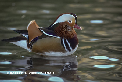 MANDARIN DUCK  REFLECTED - ENGLAND