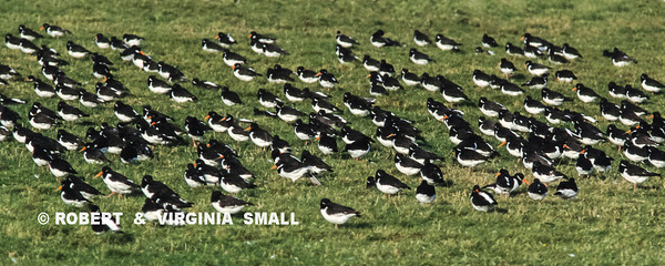 A SMALL ARMY OF EUROPEAN OYSTERCATCHERS FORAGING IN (ALMOST) MILITARY FORMATION