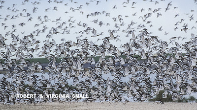 QUITE A LARGE FLOCK OF OYSTERCATCHERS, TEXEL ISLAND, HOLLAND