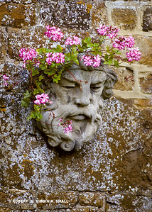 A HEAD FULL OF GERANIUMS  ON AN OLD STONE WALL - WALES