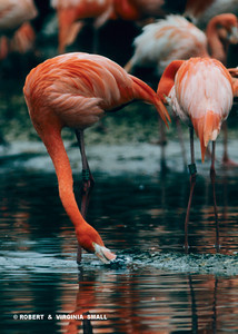 GREATER FLAMINGOS FORAGING, FRANCE