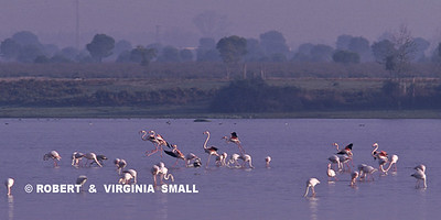 FLAMINGOS IN LAGOON - SPAIN