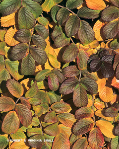 LEAVES OF UNKNOWN VINE IN AUTUMN COLOR, HOLLAND