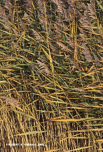 REEDGRASSES IN THE WIND - FRANCE