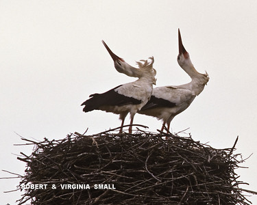 A PAIR OF WHITE STORKS DISPLAYING ON THEIR NEST - PORTUGAL