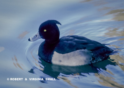 A TUFTED DUCK DRIFTING SILENTLY PAST IN THE WATER BELOW A FOOTPATH, ENGLAND
