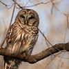 According to my bird book, he's a Barred Owl.