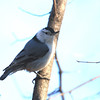 White Breasted Nuthatch.  I had to ask sister Jean to identify him, as I thought it was a chickadee (not).
