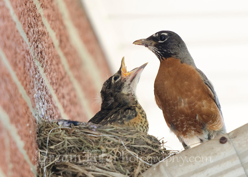 Photo of baby robins waiting for food.
