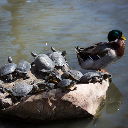1503-56 025  1503-56 GCS Spring  Flowers, ducks, turtles, and singers  Photo by:  Todd Wakefield/BYU  March 20, 2015  © BYU PHOTO 2015 All Rights Reserved photo@byu.edu  (801)422-7322