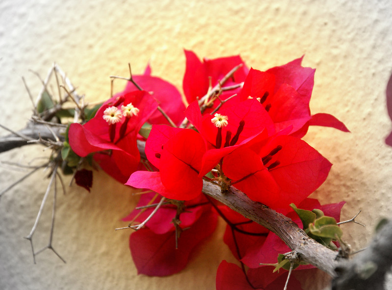 June 14, bougainvillea on the side wall of a monastery in Santorini Greece. Sorry I am not commenting can't type with just two fingers...