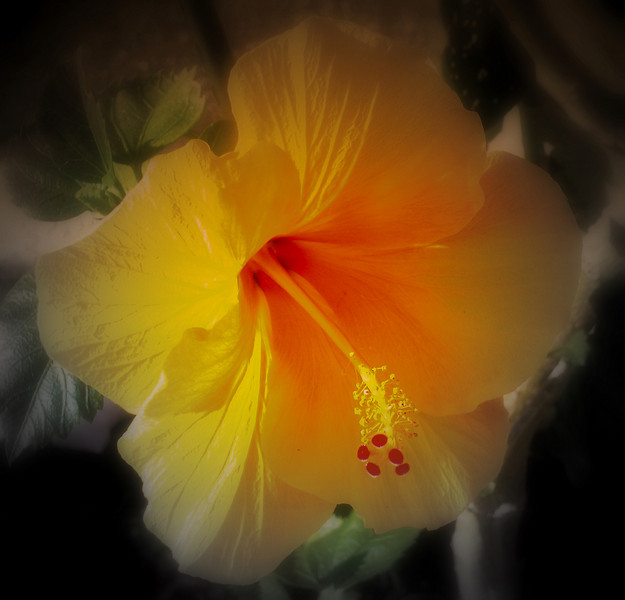 May 14, 2009. Orange, yellow hibiscus on our front porch.