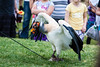 South American King Vulture