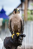 European Peregrine Falcon.<br /> <br /> Thanks John Chapman for the Correct ID...