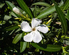 Oleander, Dwarf Petite Pink<br /> <br /> I don't see much pink, but that is what the sign said...